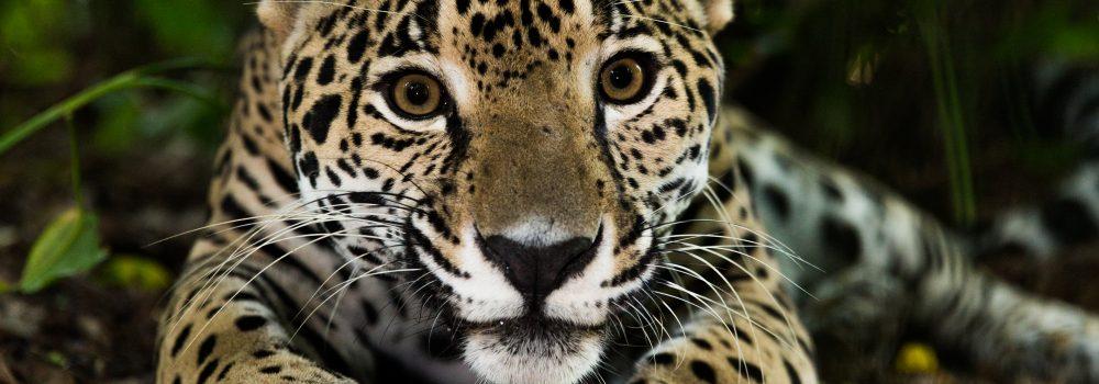 Amazonie petit jaguar