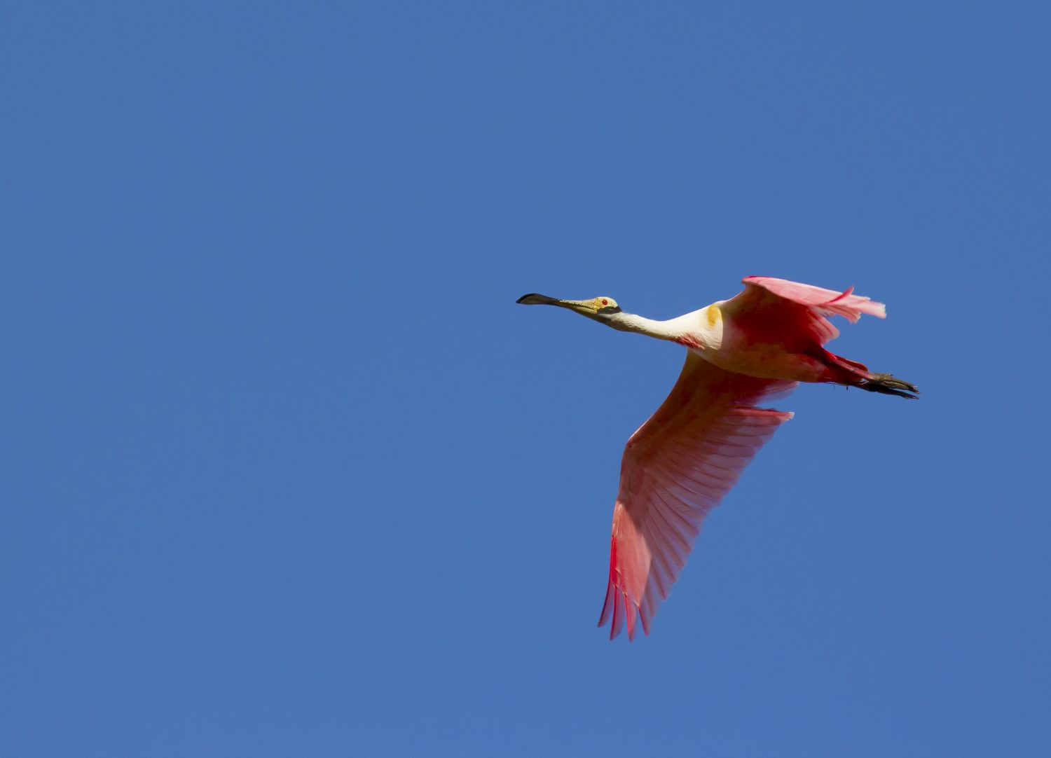 A Ibis flying in the Pantanal.