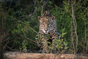 A jaguar, one of the big cats you may spot in a pantanal tour.