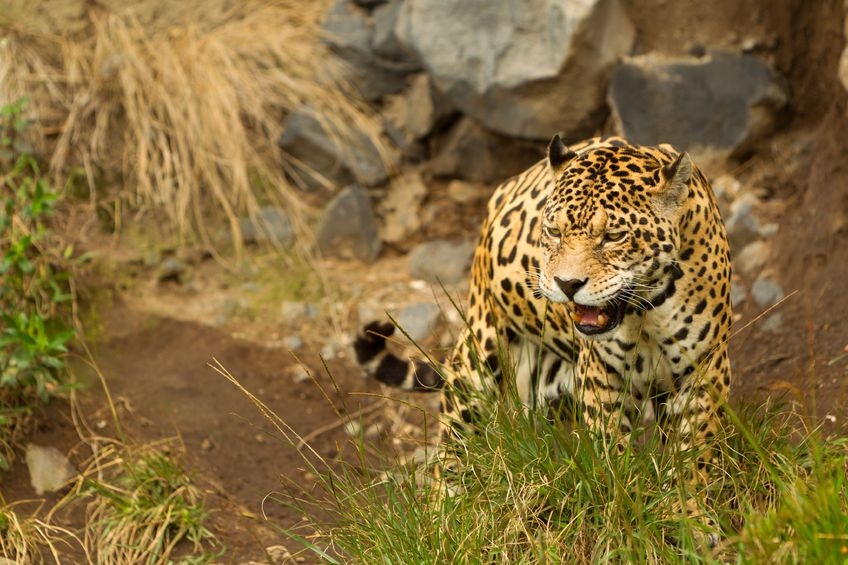 A jaguar hunts for food out of the water.