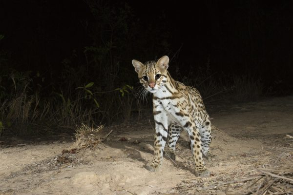 A ocelot, one of the wild cats in Pantanal.
