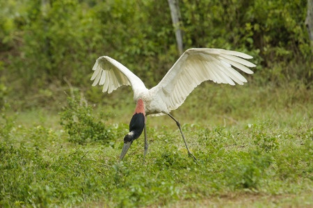 A massive bird spreads its wings in Pantanal.