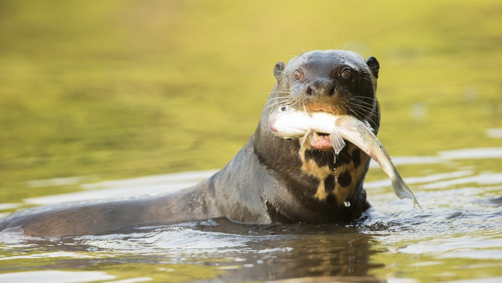A giant otter hunts in Pantanal.