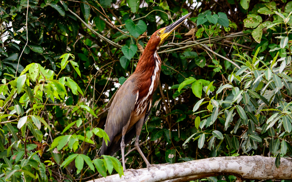 One of the many river bird species in Pantanal.