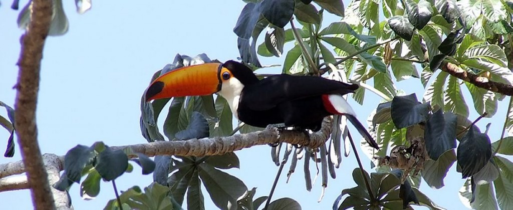 The beautiful toucan, native to Pantanal.