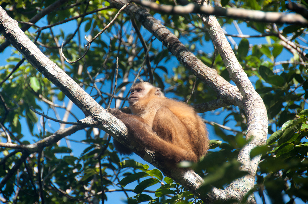 One of the many monkeys of the Pantanal.