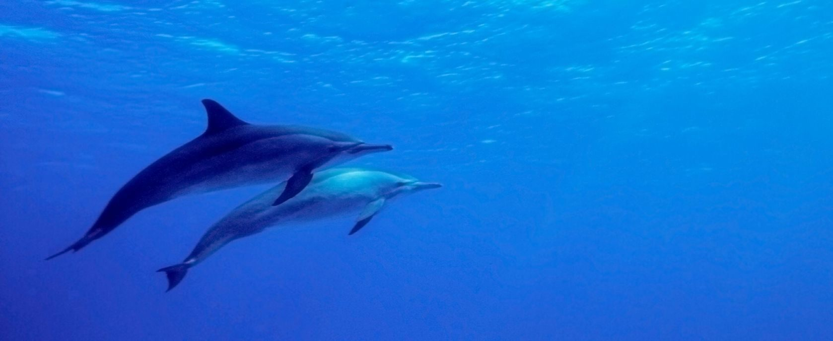 Two dolphins swimming in the waters of Pipa beach.
