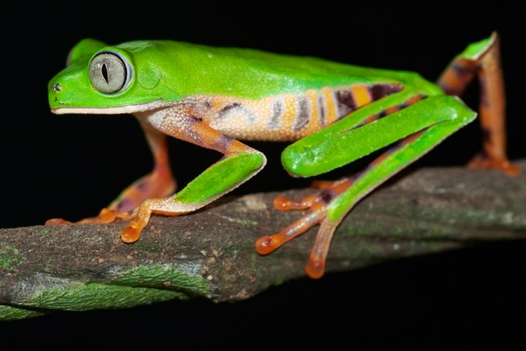 An Amazonian frog, on of the many curious creatures that call the rainforest home.