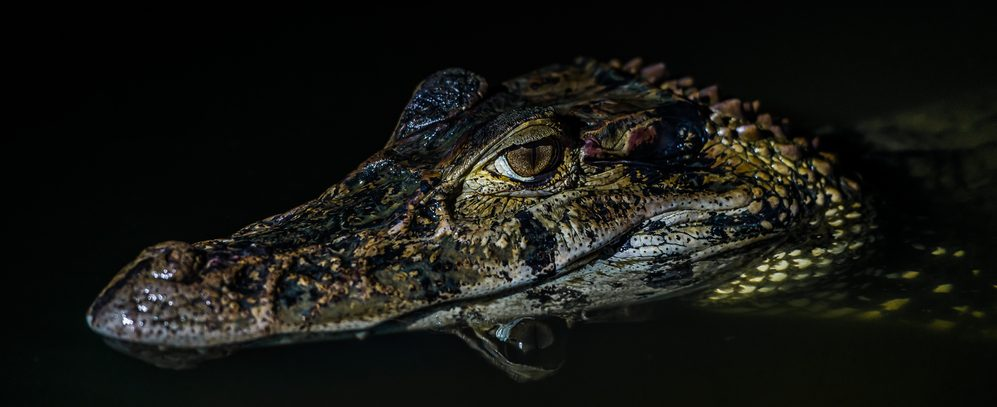 One of the many caimans you will find lurking in the dark waters, especially at night time.