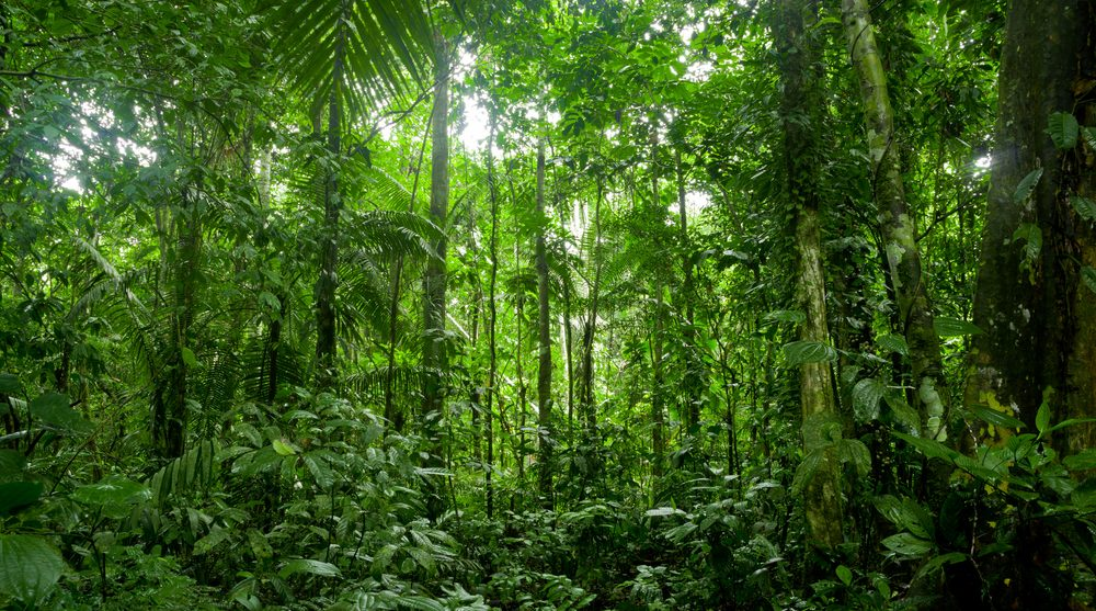 The lush green Amazon rainforest.