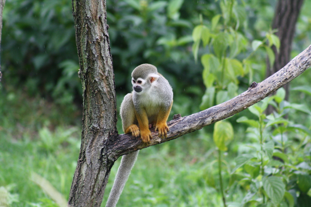 One of the many monkey species found in the Amazon.