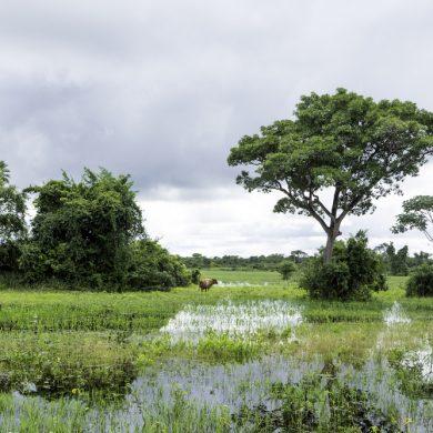 buffle dans Pantanal inondé