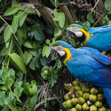 A couple of parrots in Pantanal.