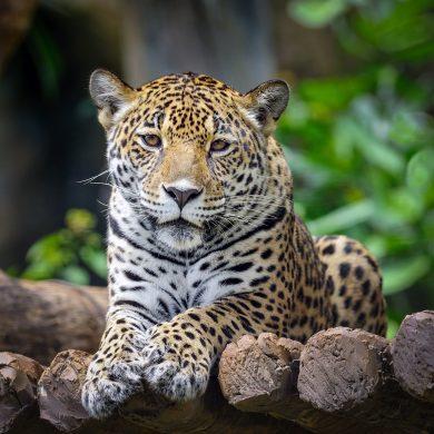 jaguar de face Pantanal