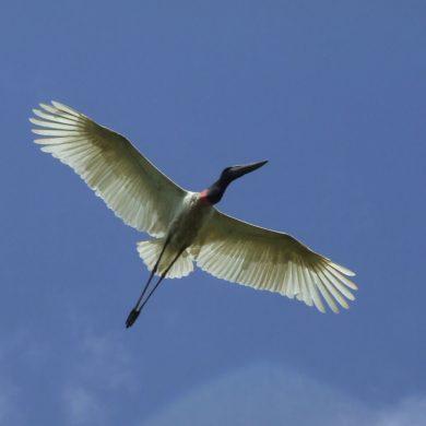 Tuiu take flight in Pantanal.