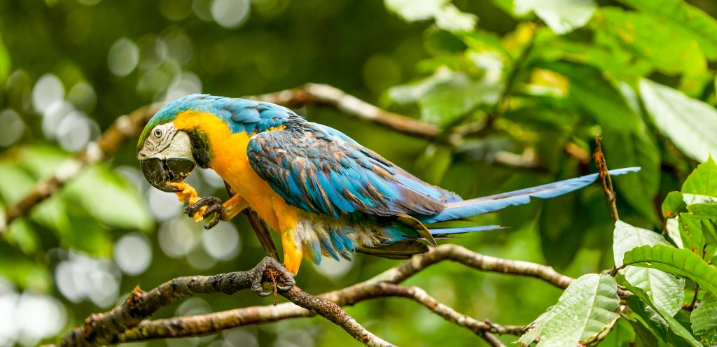 A wild parrot in the Amazon sits in a tree.