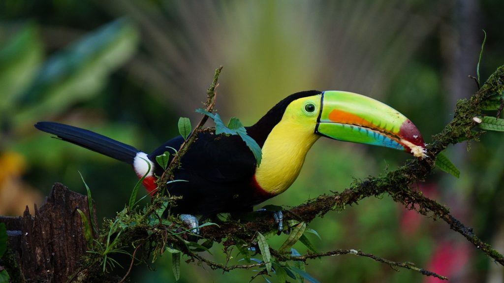The beautiful keel billed toucan at Iguassu.