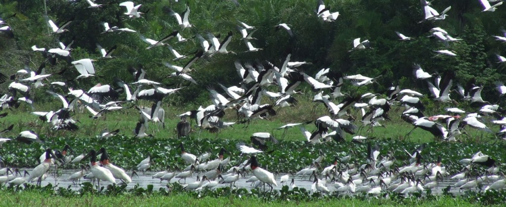 A huge flock of Jabiru in South Pantanal.