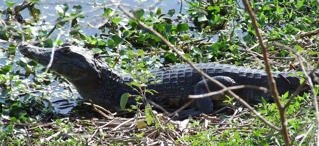 Pantanal, home to many reptiles.